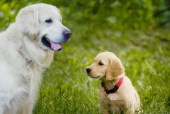 Dog and puppy. Adult dog golden retriever with puppy of golden retriever royalty free stock image