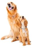 Dog and Puppy. A golden retriever and cocker spaniel puppy in the studio stock photo