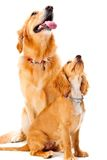 Dog and Puppy. A golden retriever and cocker spaniel puppy in the studio royalty free stock photo