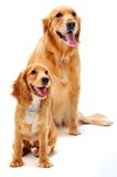 Dog and Puppy. A golden retriever and cocker spaniel puppy in the studio stock photos