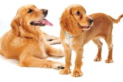 Dog and Puppy. A golden retriever and cocker spaniel puppy in the studio stock images