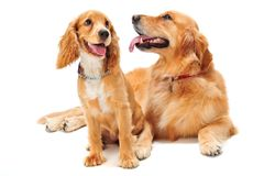 Dog and Puppy. A golden retriever and cocker spaniel puppy in the studio Royalty Free Stock Photography