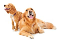 Dog and Puppy. A golden retriever and cocker spaniel puppy in the studio stock image