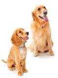 Dog and Puppy Royalty Free Stock Image