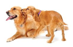 Dog and Puppy. A golden retriever and cocker spaniel puppy in the studio Royalty Free Stock Image