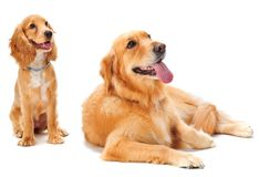 Dog and Puppy. A golden retriever and cocker spaniel puppy in the studio royalty free stock images
