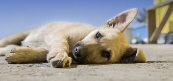 Dog Puppy stock photography