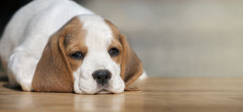 Dog puppy banner Stock Photography