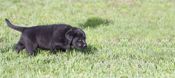 Dog puppy banner. Website banner of a Labrador Retriever puppy dog as walking in the grass Royalty Free Stock Photography