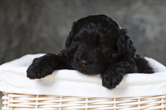 Dog puppy in a basket Stock Photos