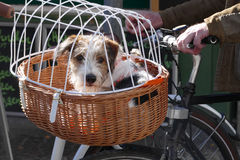 Dog puppy in a bicycle basket Stock Photo