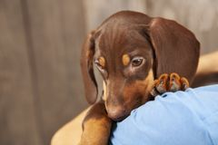 Dog puppy breed dachshund on shoulder of a boy, a teenager and his pet