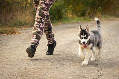 Dog puppy of breed Siberian Husky runs alongside his master owner along the avenue in the autumn park. Dog training and agilit. Y royalty free stock images