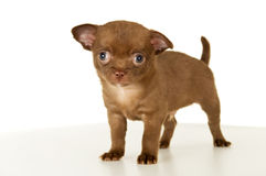 Dog, puppy brown color stands Stock Photography