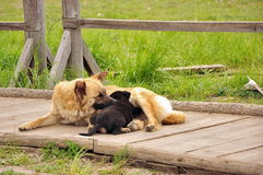 Dog and Puppy. Caring dog and little puppy Royalty Free Stock Images