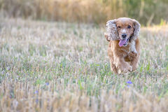 Dog puppy cocker spaniel coming to you Stock Image