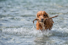 Dog Puppy cocker spaniel holding a wood branch Stock Photo