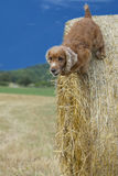 Dog puppy cocker spaniel jumping hay Royalty Free Stock Photo