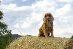 Dog puppy cocker spaniel jumping hay Stock Photo