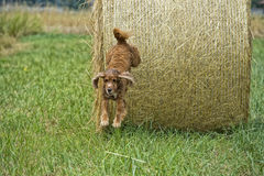 Dog puppy cocker spaniel jumping from wheat ball stock image