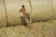 Dog puppy cocker spaniel jumping from wheat ball Stock Images