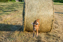 Dog puppy cocker spaniel jumping from wheat ball Stock Photos