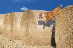 Dog puppy cocker spaniel jumping from wheat Stock Image