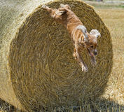 Dog puppy cocker spaniel jumping from wheat. Mature field and looking at you stock image