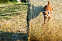 Dog puppy cocker spaniel jumping from wheat Royalty Free Stock Image