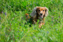 Dog Puppy cocker spaniel playing in the grass field Stock Photos