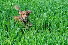 Dog Puppy cocker spaniel playing in the grass field Royalty Free Stock Image