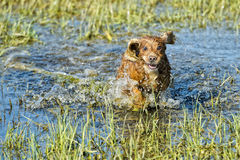 Dog Puppy cocker spaniel playing in the water Stock Image