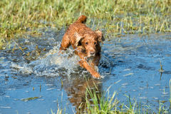 Dog Puppy cocker spaniel playing in the water Stock Images