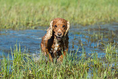 Dog Puppy cocker spaniel playing in the water Royalty Free Stock Photo