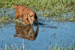 Dog Puppy cocker spaniel playing in the water. Cocker spaniel while running to you in the water Stock Photography