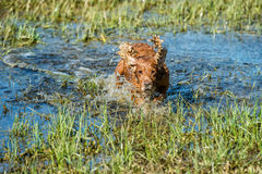 Dog Puppy cocker spaniel playing in the water Royalty Free Stock Photos