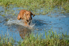Dog Puppy cocker spaniel playing in the water Stock Photos