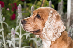 Dog puppy cocker spaniel portrait looking at you Royalty Free Stock Images