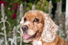 Dog puppy cocker spaniel portrait looking at you Royalty Free Stock Image