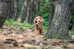 Dog puppy cocker spaniel running in the forest Royalty Free Stock Images