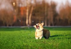 Cute little funny red dog puppy Corgi walks on the green lawn with young grass and catches shiny soap bubbles opening his mouth on. Dog puppy Corgi walks on the royalty free stock photo
