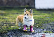 dog puppy Corgi walks through puddles in the village in funny rubber boots royalty free stock image