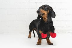 A dog puppy of the dachshund breed, black and tan, in a black scarf with red Christmas pom-pomson against a white brick wall bac. Kground royalty free stock photos