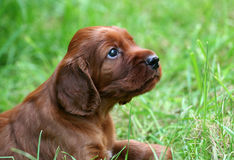 Dog puppy in the grass Royalty Free Stock Images