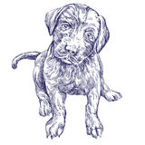 Dog puppy hand drawn vector llustration  sketch. Dog puppy hand drawn vector llustration realistic sketch Royalty Free Stock Photo