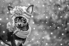 Dog, puppy in a hat and scarf, snow is falling. New Year, Chri. Stmas, Winter. Black and white, Christmas card, space for text stock photos