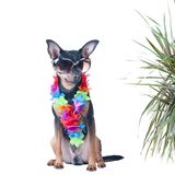 Dog, a puppy in the Hawaiian style isolated. Tourist, traveler.,. Fashion. Toy Terrier Stock Image