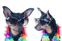 Dog, a puppy in the Hawaiian style isolated. Tourist, traveler. Fashion. Toy Terrier Stock Image
