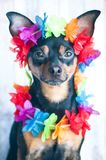 Dog, a puppy in the Hawaiian style . Tourist, traveler., Fashion. Toy Terrier Royalty Free Stock Photos