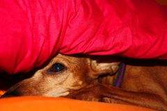 Dog puppy hides in the warmth between the blankets of his house on a winter day royalty free stock photography